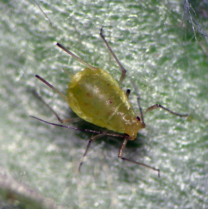 Acyrthosiphon macrosiphum fundatrix from near The Dalles, Oregon.