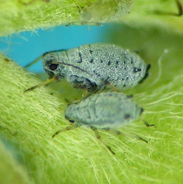 Aphis sp., probably undescribed, from Potentilla gracilis in Oregon.
