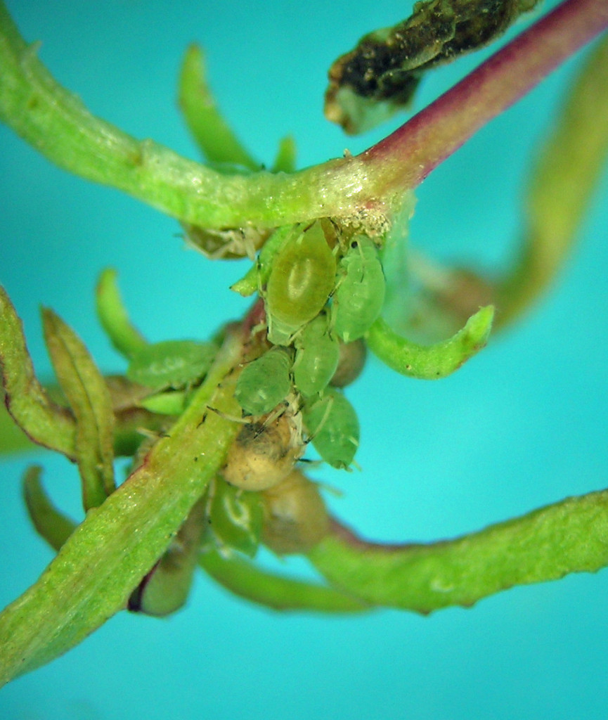 Bursaphis on Epilobium paniculatum, central Washington