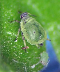 Fundatrix of Bursaphis ex Ribes cereum, Washington