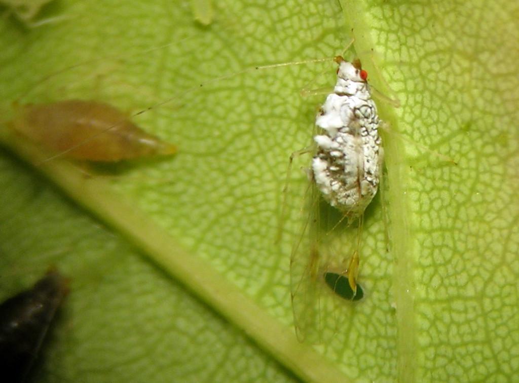Drepanaphis idahoensis alate vivipara on an ornamental maple in Pullman, Washington.