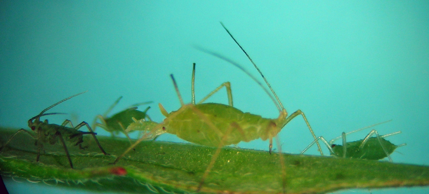 Macrosiphum aetheocornum from central Oregon in June.
