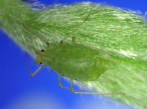 Macrosiphum clum fundatrix from above the Alvord Desert in eastern Oregon.