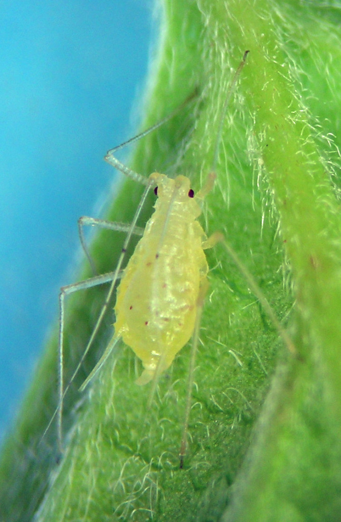 Macrosiphum holodisci fundatrix from the Hayden, Idaho area.