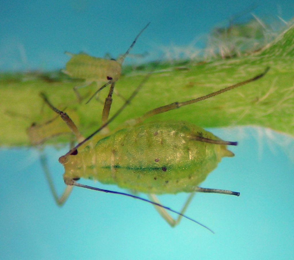 Macrosiphum manitobense second generation from near the ocean along the Nehalem River in Oregon.