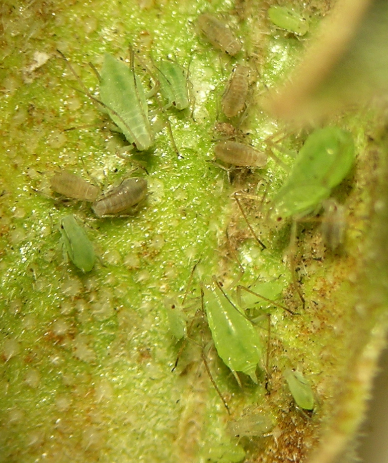 Macrosiphum mentzeliae from central Washington. The brownish nymphs will develop into males.