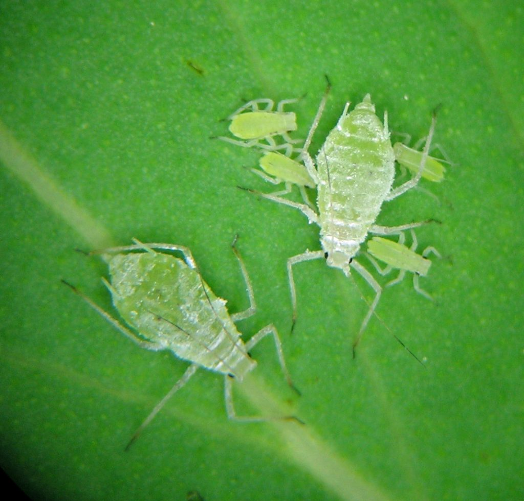 Macrosiphum niwanistum fundatrices and their nymphs from the mountains outside Boise, Idaho.