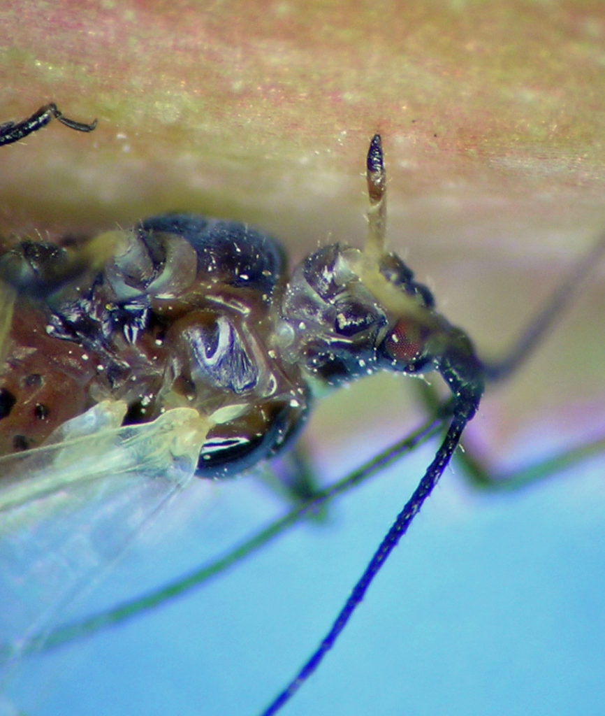 The head and thorax of a feeding alate Macrosiphum rosae.