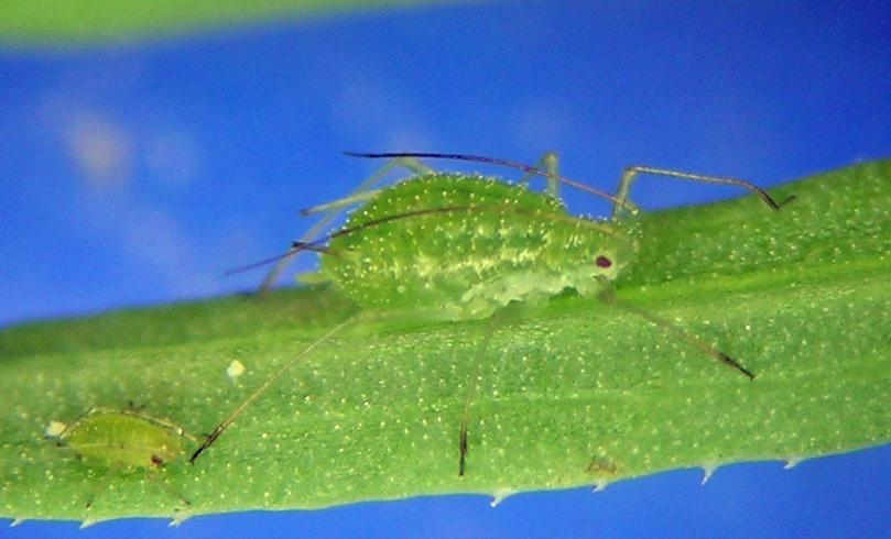 Pleotrichophorus pycnorhysus apterous vivipara from the Boise, Idaho area, once again on green rabbitbrush.