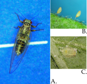 Potato psyllid egg, nymph, and adult.