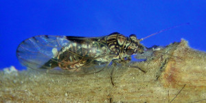 A somewhat common psyllid that feeds on Ribes aureum in Idaho.
