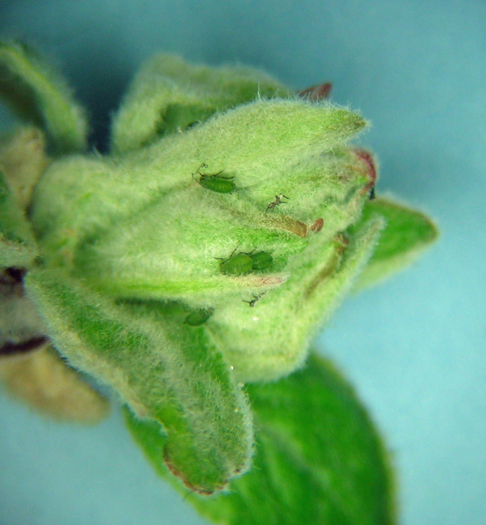 Rhopalosiphum oxyacanthae fundatrix nymphs on a bud of apple in Lakeview, Oregon in April.