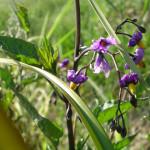 Solanum dulcamara, major host to potato psyllid in the Northwest.