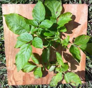 Solanum fendleri leaves, each had several potato psyllids.