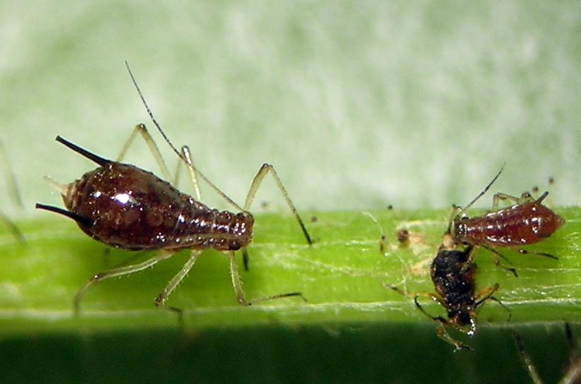 Uroleucon adenocaulonae aptera from the Cascade Range of Washington.
