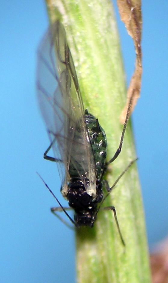 Aphis carduella alate from central Washington, Colockum Ridge.
