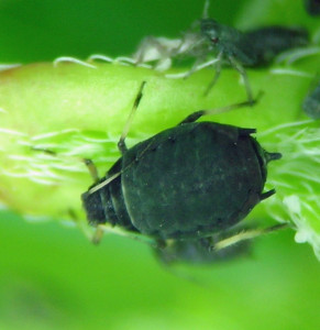 Aphis fabae coming out of overwintering on Philadelphus lewisii in Hells Canyon, Idaho