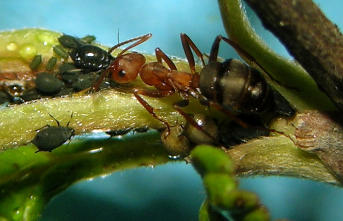 Aphis holodisci from northern Idaho being tended by a lovely ant.