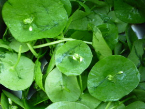 An added mystery ingredient on this trip was miner's lettuce (Claytonia perfoliata), a rosette-forming succulent plant named after Califoornia gold miners who used it to supplement vitamin C to prevent scurvy.