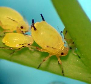 Aphis spiraecola from central Washington.