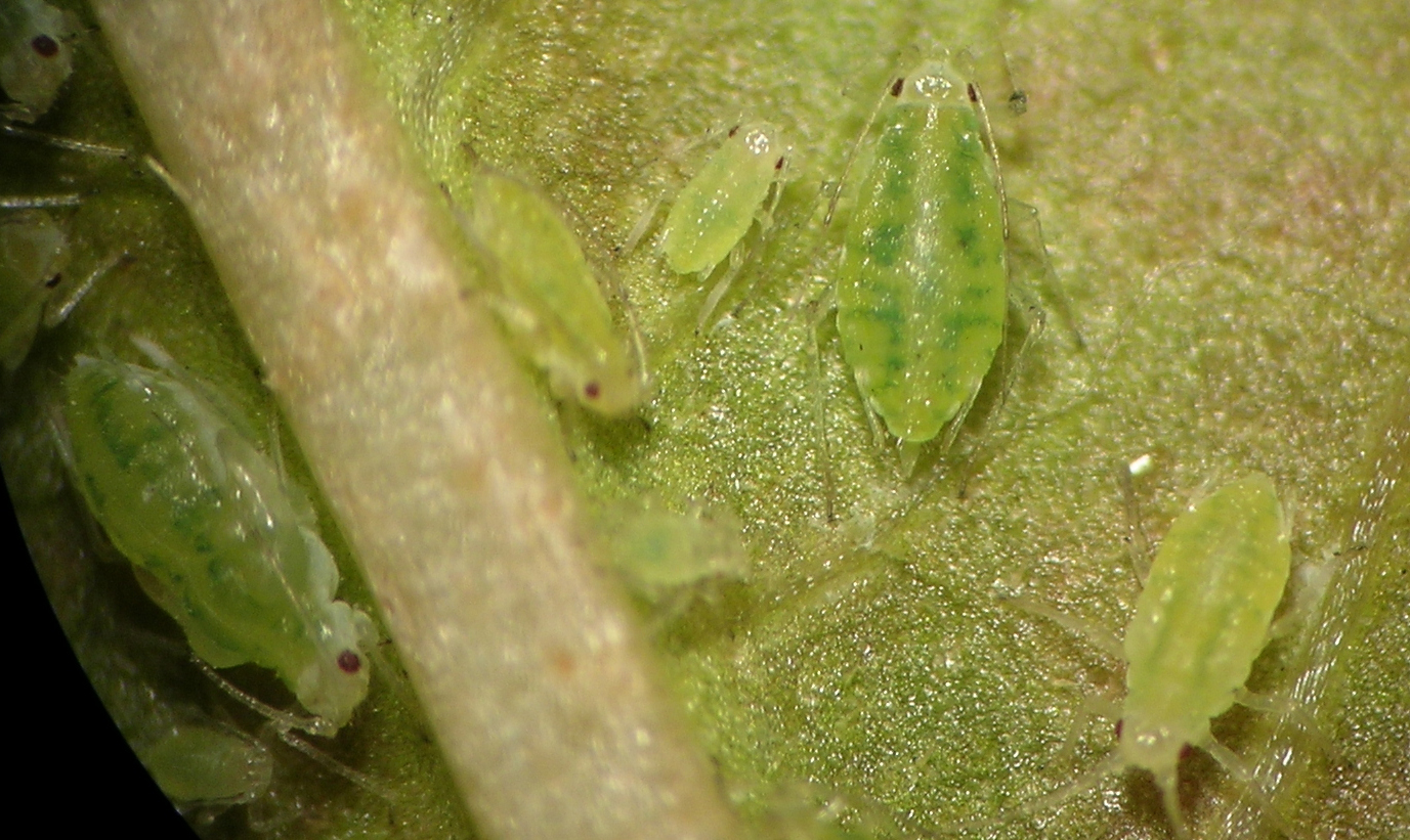 Capitophorus hippophaes on a Polygonum species in Moses Lake, Washington.