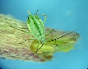 An apparent fundatrix of the undescribed Macrosiphoniella on Eriophyllum in eastern Oregon.