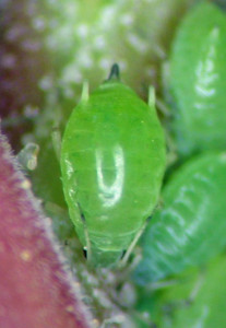 Aphis (Bursaphis) cf. costalis on Ribes aureum, Goose Lake, Oregon.