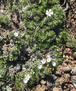 The sagebrush steppe is home to many species of Phlox. This one blooms early in the spring.