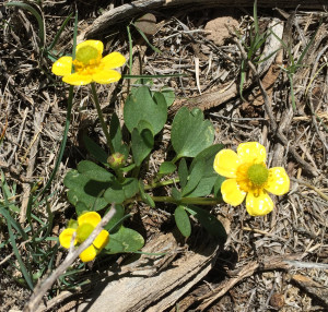 Buttercups (Ranunculus) are common in this kind of habitat in early spring.