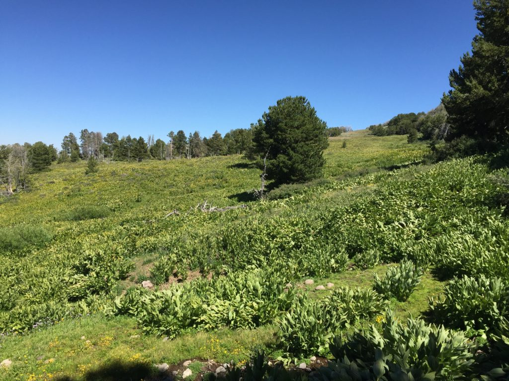 The Owl Creek area in the South Warner Wilderness. This is a mountain wetland and vast field of Veratrum dotted with shrubs of Potentilla fruticosa and Symphoricarpos.