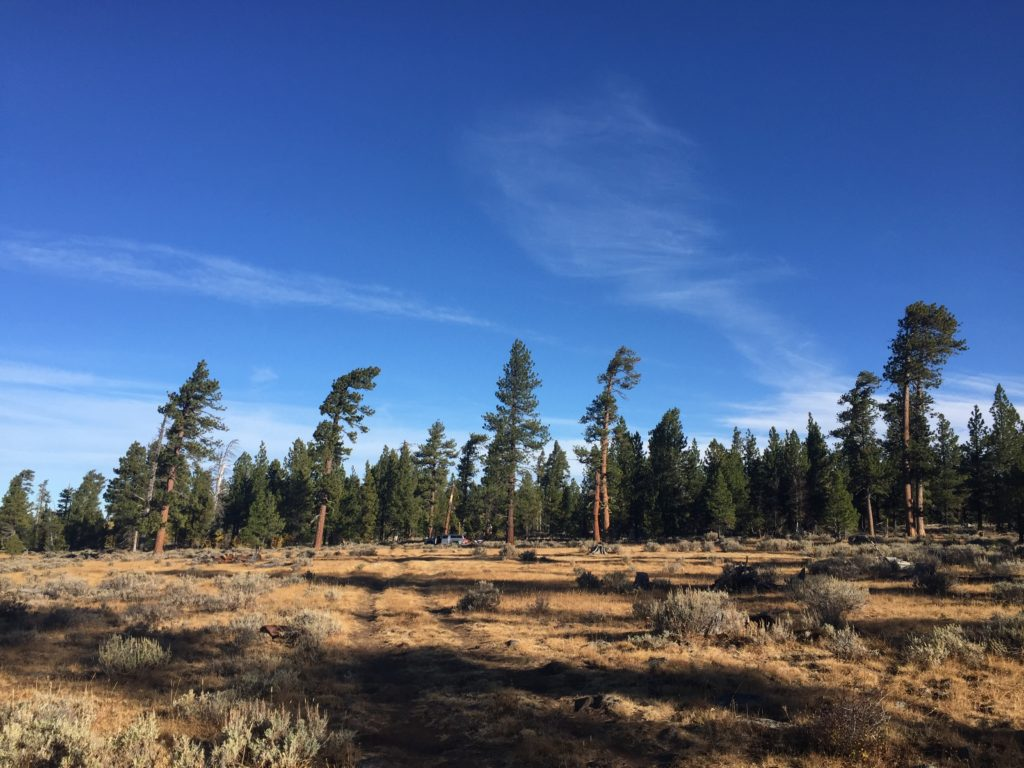 Our camp spot set among the pines showing wind-induced asymmetric canopies.